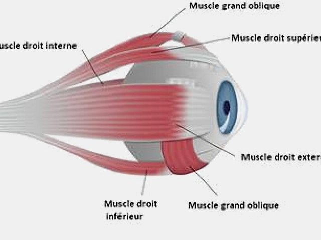 Muscles oculaires, vue de profil