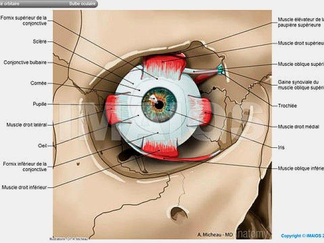 Schéma de l'œil et des muscles dans l'orbite osseuse