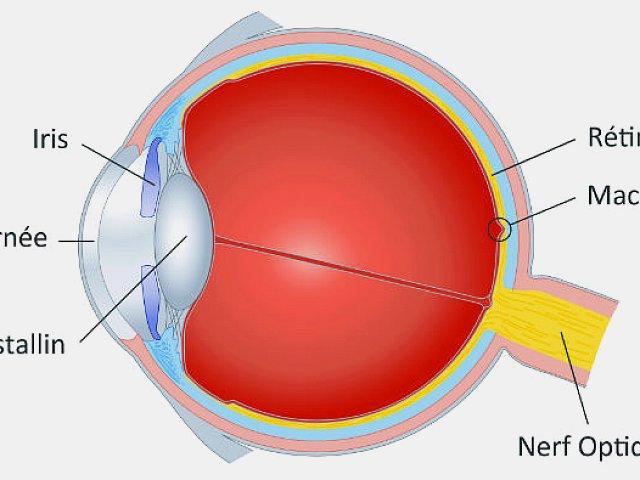 Anatomie simplifié de l'œil, vue de profil