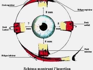 Muscles oculaires, vue de face © Centre Monticelli-Paradis d'Ophtalmologie, Marseille